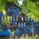 Production mondiale raisin 2019
